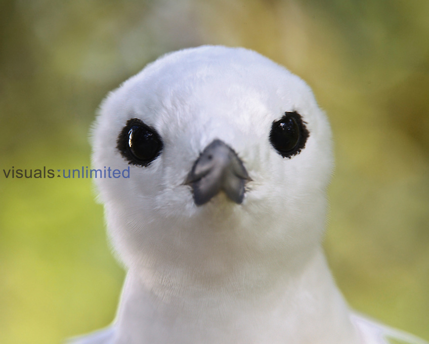White Tern head, Midway Atoll