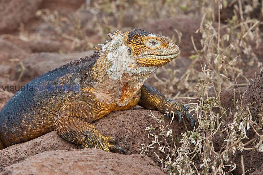 Galapagos Land Iguana shedding (Conolophus subcristatus), North Seymour, Galapagos Islands, Ecuador