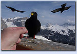 Photoshop composite of 4 images. Feeding the ravens in the Italian Dolomites. Ciao.