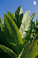 Tobacco leaves in plantation, close up (Licence this image exclusively with Getty: http://www.gettyimages.com/detail/sb10068805q-001 )
