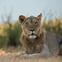 Young male lion looking curiously at the cameraman
