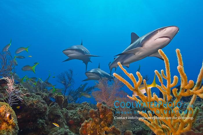 Caribbean reef sharks, Carcharhinus perezi, swimming over coral reef, Grand Bahamas, Bahamas, Caribbean Sea, Atlantic Ocean