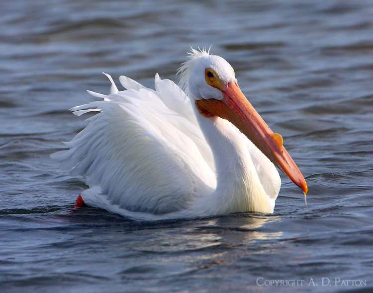 American white pelican with breeding season bump on bill