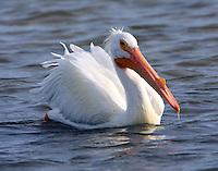 American white pelican with breeding season bump on bill