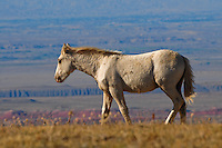 Wild colt walks along the plateau edge where Wyoming waits below.
