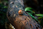 A millipede seen rolled into a ball as a defensive maneuver near the Borneo Rainforest Lodge on Saturday April 27th 2013 in Malaysia. (Photo by Brian Garfinkel)