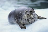 Harbor seal (Phoca vitulina), Alaska