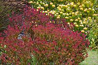 Leucadendron salignum 'Winter Red',  Red Cone Bush, South African shsrub