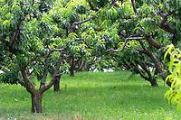 Eucaluptus trees in Strantza. Macedonia, Greece.