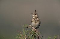 Crested Lark, Galerida cristata, adult singing, Samos, Greek Island, Greece, Europe
