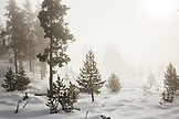 USA, Wyoming, Yellowstone National Park, tree and snow landscape in the early morning mist, Midway Geyser Basin