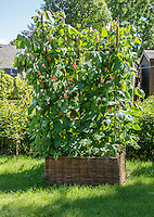 Runner beans growing in a wicker container in a garden, Chipping, Lancashire.