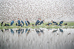 Central Africa , marabou stork (Leptoptilos crumenifer), red-billed quelea (Quelea quelea), spur-winged goose (Plectropterus gambensis)