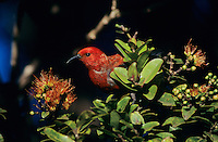 Apapane, Himatione sanguinea, adult feeding on blossom of 'Ohi'a lehua tree (Metrosideros polymorpha) , Alakai Swamp, Kauai, Hawaii, USA
