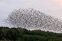 Star, Stare, Trupp, Schwarm, Starenschwarm, Vogelschwarm, Stare am Schlafplatz, Sturnus vulgaris, European starling,  Starling, common starling, Étourneau sansonnet