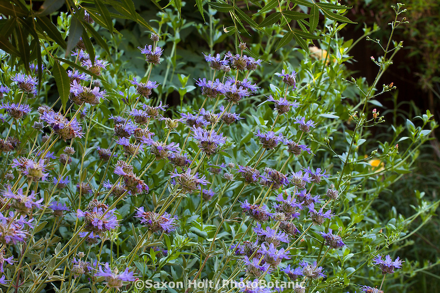 Salvia clevelandii, Cleveland sage California native perennial flowering in Sibley drought tolerant back yard garden, Richmond California