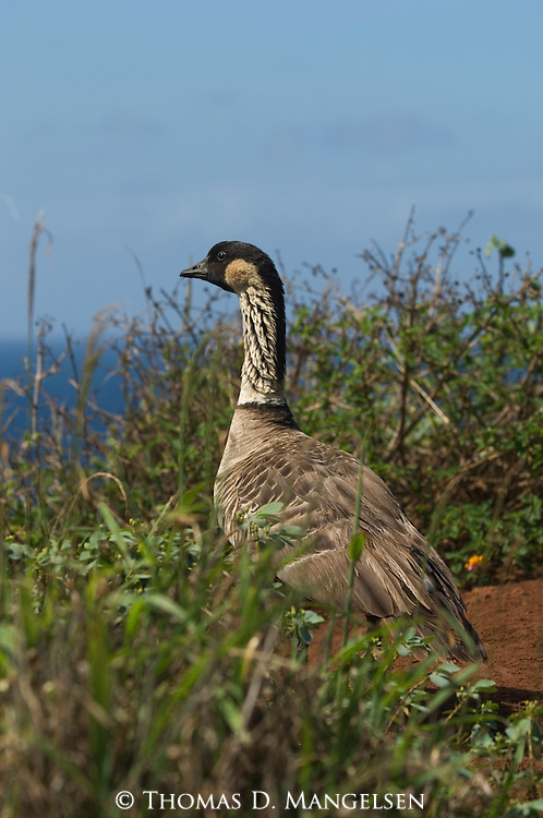 Hawaiian or Nene Goose on a bluff above the ocean in Hawaii.