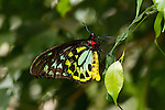 A brightly colored male Cain Birdwing, Australia's largest butterfly, hangs on a leaf and is clearly defned against a multi-green background.