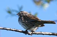 Sparrow - Song