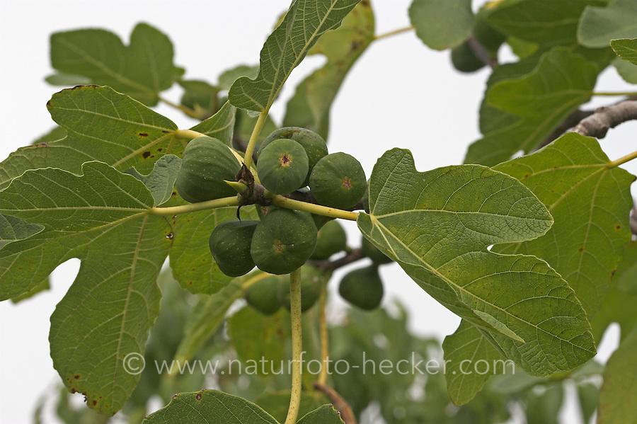 Echte Feige, Früchte, Ficus carica, Fig