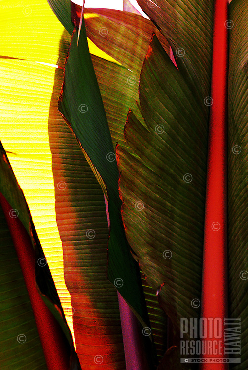 Close up of banana leaves