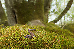 California Slender Salamander (Batrachoseps attenuatus) in woodland, Bouverie Preserve, Glen Ellen, California