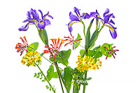 30099-00802 Blue Flag Iris, Dropmore Scarlet Honeysuckle & Butterweed (high key white background) Marion Co. IL