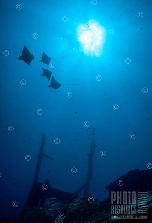 An underwater silhouette of four eagle rays over the wreck of the Mahi, Waianae coast, O'ahu.