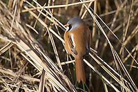 Bearded Tit/Bearded Reedling - Panurus biarmicus - male. L 16-17cm. Reedbed specialist with a rounded body and long tail. Distinctive call leads to affectionate nickname of 'pinger'. Forms flocks outside breeding season. Sexes are dissimilar<br /> Adult male has sandy brown body and tail, with black and white markings on wings. Head is blue-grey with black 'moustache'. beady yellow eye and yellow bill. Adult female is similar but head is sandy brown. Juvenile is similar to adult female but back is blackish, throat is whiter and eye colour is darker. Voice Utters diagnostic, high-pitched ping call. Song is seldom heard. Status Rather scarce and associated exclusively with extensive reedbeds.