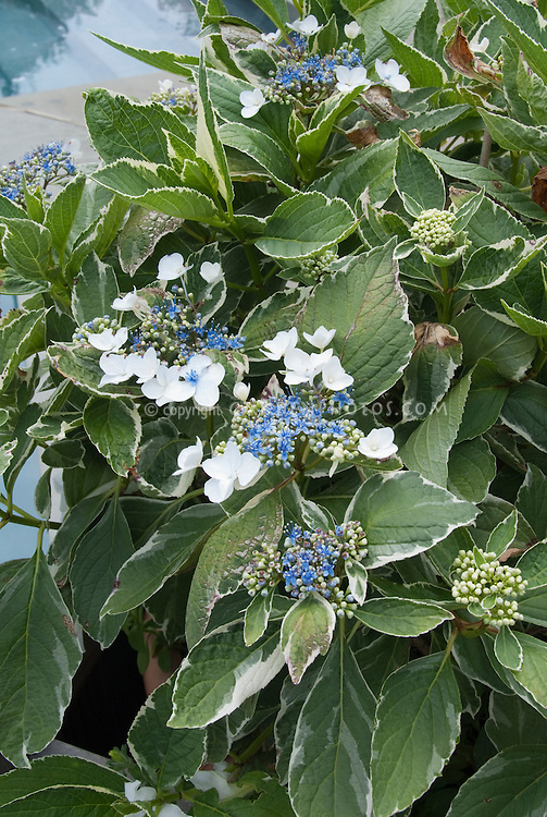 Variegated lacecap Hydrangea macrophylla in blue flowers