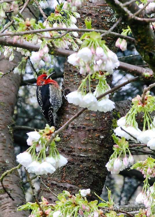 Red-headed sapsucker in cherry tree in the Spring with blossoms