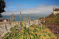 Bear's Breech, Acanthus mollis, Gardens of Alcatraz overlooking San Francisco Bay
