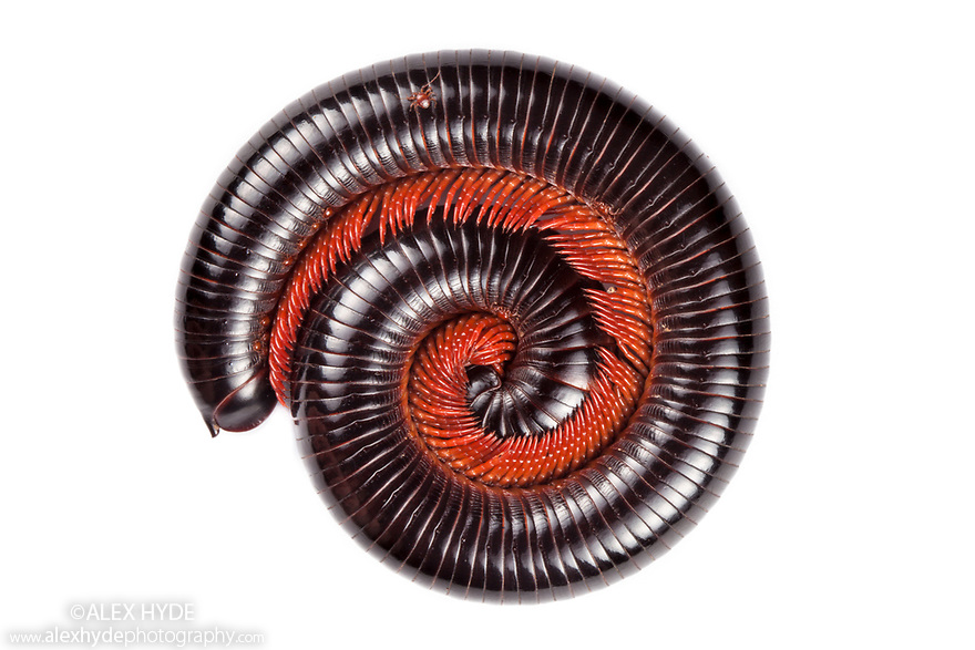 Giant Millipede photographed on a white background in mobile field studio in tropical rainforest. Danum Valley, Sabah, Borneo, Malaysia.