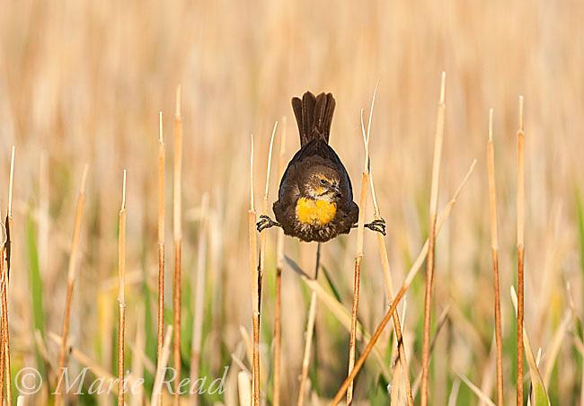 Yellow-headed Blackbird (Xanthocephalus xanthocephalus) female clinging between two cattail stems in marsh, Mono Lake Basin, California, USA