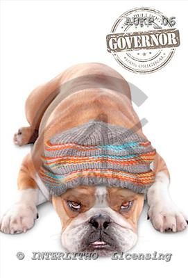 Samantha, ANIMALS,  photos,+dogs,++++Bulldog Beanie master,AUKP06,#A# Humor, lustig, divertido