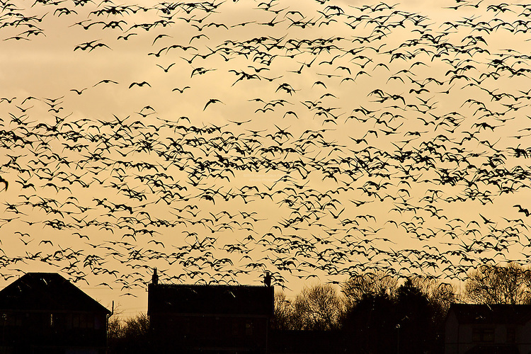 Pinkfooted Geese (Anser Brachyrhynchus) returning to the safety of Salt marsh and mudflats, flying over houses at sunset in Pilling, Lancashire.
