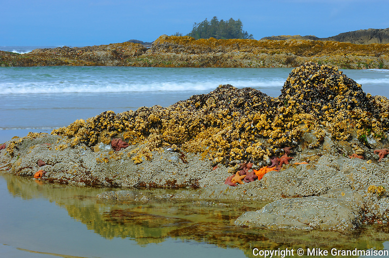 STarfish and barnacles along the Pacific Ocean at Long Beach<br /> Pacific Rim National Park<br /> British Columbia<br /> Canada
