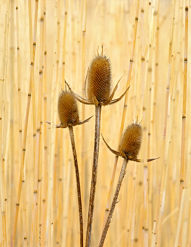 Teasles in Sweetgrass. Summer Lake Wildlife Refuge, Oregon