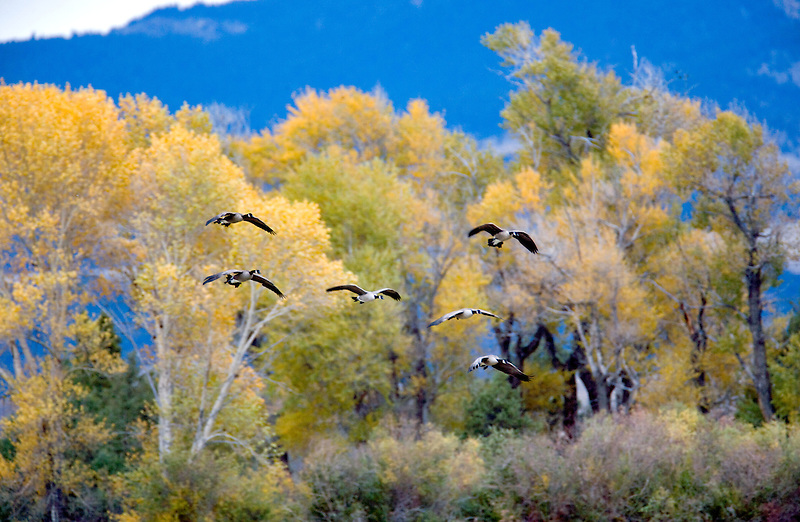 Geese landing with fall colors. Montana