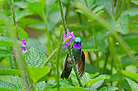 Purple-throated Mountain-gem or Purple-throated Mountaingem (Lampornis calolaemus) male.  Photographed in Costa Rica.
