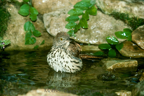 Brown thrasher, Toxostoma rufum, bathing in a garden pool. The brown thrasher is an aggressive defender of its nest and will attack, USA