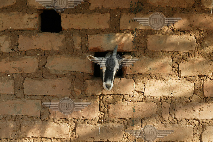 Goat belonging to small farmers sticks its head out of a wall in the village of Sinazongwe....