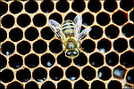 Renfrewshire Honey bee