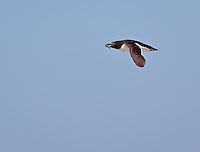 Razorbill in flight with fish in beak