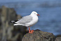 Red-billed Gull - Larus novaehollandiae