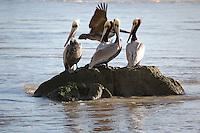 Jenner Wildlife Pelicans