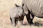 White rhino calf (Ceratotherium simum), Elandslaagte game ranch, North Western province, South Africa, June 2012