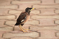 Baby Myna child trying to fly, standing on floor.