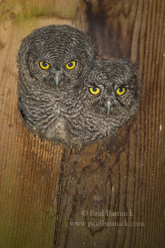 Two Western Screech Owls peer from their nest box prior to fledging.