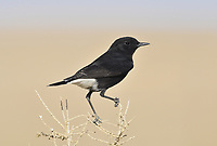 Basalt Wheatear - Oenanthe lugens warriae